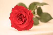 Free Rose Royalty Free Stock Image - 8225576