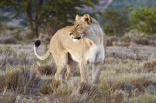 Free Looking Back Lioness Royalty Free Stock Photos - 8225598