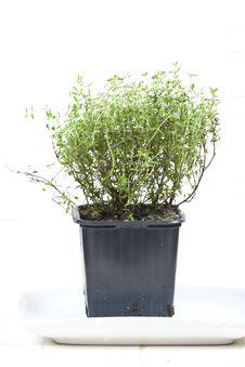 Free Green Aromatic Plant Stock Photos - 8226063