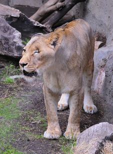 Free One-eyed Lioness Royalty Free Stock Image - 8226516