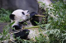 Free Giant Panda Stock Photography - 8226642
