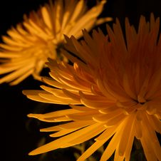 Free Chrysanthemums Royalty Free Stock Photography - 8226747