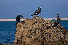 Free Cormorants. Royalty Free Stock Photography - 8227907