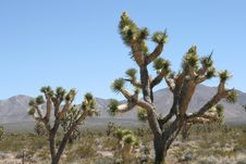 Joshua Trees In Mojave Desert Stock Image