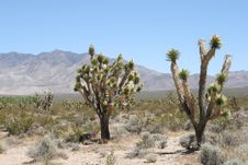 Joshua Trees In Mojave Desert Royalty Free Stock Photo