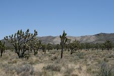 Joshua Trees In Mojave Desert Stock Photo