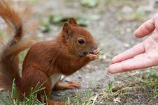 Free Squirrel Eating Hazelnut Stock Images - 8228344