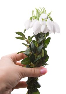 Free Hand Giving Snowdrops Royalty Free Stock Images - 8228639