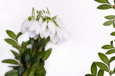 Free Congratulatory Form With Snowdrops. Stock Images - 8228644
