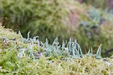 Free Lichen Royalty Free Stock Photo - 8228775