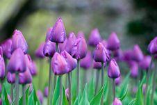 Free Purple Tulips Royalty Free Stock Photo - 8228855