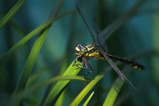 Free Dragonfly Stock Image - 8229071
