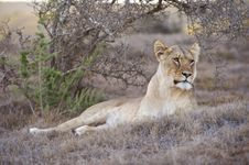 Free Evening Lioness Royalty Free Stock Photos - 8229158