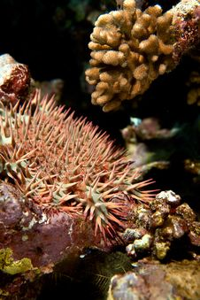 Free Crown-of-thorns Starfish Royalty Free Stock Images - 8229709