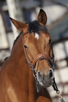 Free Horse Royalty Free Stock Images - 8229899
