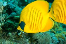 Free Masked Butterflyfish Stock Image - 8229951