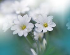 Beautiful Spring Nature Background And White Flower.Abstract Macro Photography.Artistic Closeup Concept.Web Banner For Design. Royalty Free Stock Photos