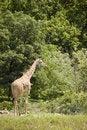 Free Giraffe In The Zoo Stock Photography - 8232752