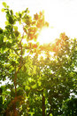 Free Green Leaves Stock Photography - 8233052