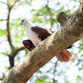 Free Brahminy Kite In Tree Royalty Free Stock Images - 8234579
