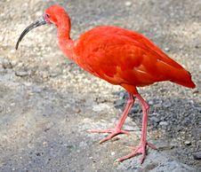 Free Scarlet Ibis 4 Stock Image - 8230721