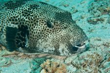 Free Starry Puffer Stock Images - 8231404