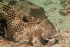 Free Starry Puffer Stock Photography - 8231582