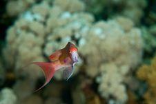 Lyretail Anthias Stock Image