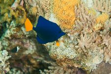 Free Yellowtail Tang Juv. Royalty Free Stock Photos - 8232128