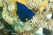 Free Yellowtail Tang Juv. Royalty Free Stock Photo - 8232165