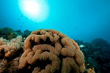Free Bubble Coral Royalty Free Stock Images - 8232279