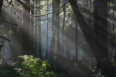 Free Morning Light In The Woods Royalty Free Stock Photos - 8232288