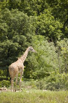 Free Giraffe In The Zoo Stock Photography - 8232752