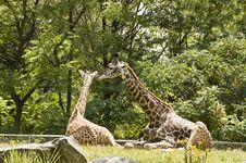 Free Giraffes Royalty Free Stock Image - 8232796