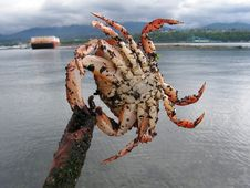 Free Fresh Crab Stock Photography - 8232832