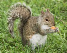 Free Squirrel Stock Images - 8232834