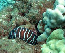 Free Zebra Moray Royalty Free Stock Photos - 8232928