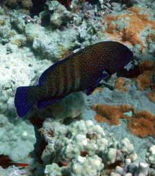 Free Peacock Grouper Stock Image - 8232941