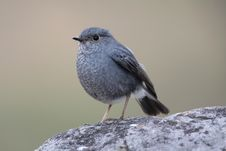 Free Plumbeous Water Redstart Royalty Free Stock Photography - 8234117