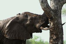 Free Bull Elephant Royalty Free Stock Image - 8234136