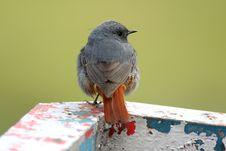 Free Plumbeous Water Redstart Stock Photos - 8234233