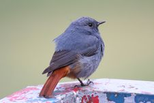 Free Plumbeous Water Redstart Stock Photo - 8234390