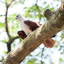 Free Brahminy Kite In Tree Royalty Free Stock Images - 8234579