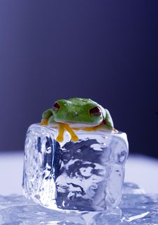 Free Frog On Ice Royalty Free Stock Photography - 8235207