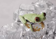 Free Frog On Ice Stock Photography - 8235312