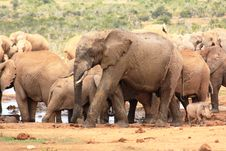 Free Elephants And A Warthog Stock Photography - 8235372