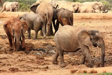 Free Elephants In Mud Stock Image - 8235611