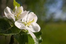 Flowers Of An Apple-tree Royalty Free Stock Images