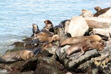 Free Sea Lions Royalty Free Stock Images - 8236839