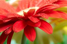 Free Red Daisy-gerbera Stock Photography - 8238812